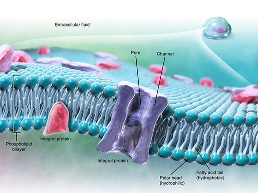 cell-membrane-phospholipid-bilayer