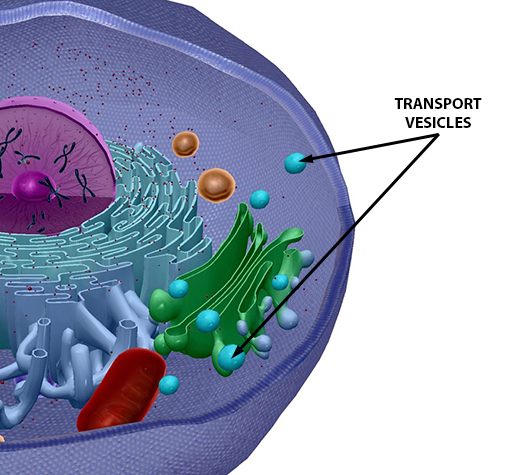 cellular-transport-vesicles