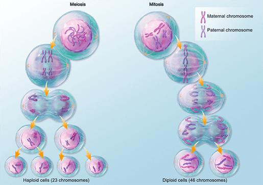 mitosis-vs-meiosis