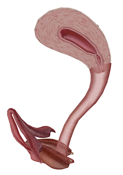 female-repro-cervix-and-vagina
