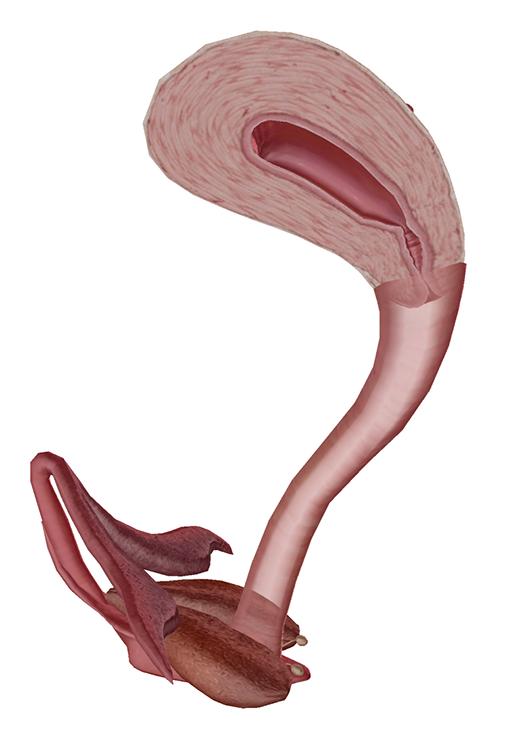 female-repro-cervix-and-vagina
