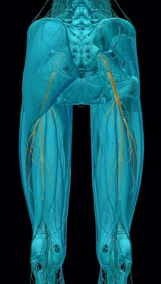 spinal-pathologies-sciatic-nerve