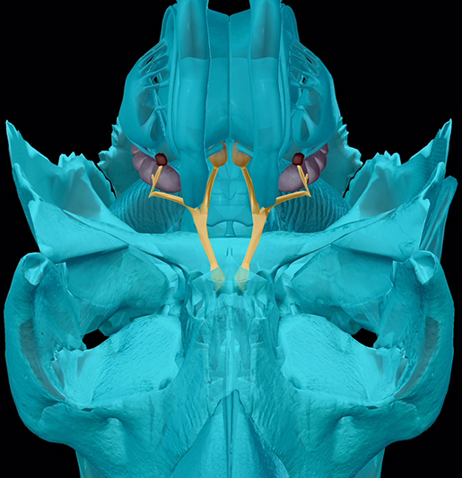 cranial-nerves-01-olfactory