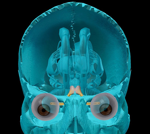 cranial-nerves-02-optic-with-optic-chiasm