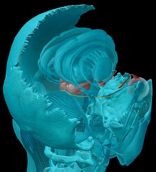 cranial-nerves-04-trochlear