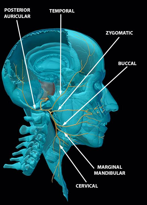 cranial-nerves-07-facial