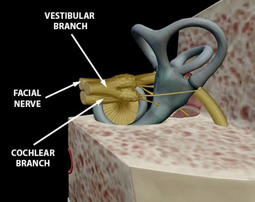 cranial-nerves-08-vestibulocochlear