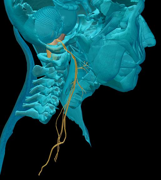 cranial-nerves-10-vagus
