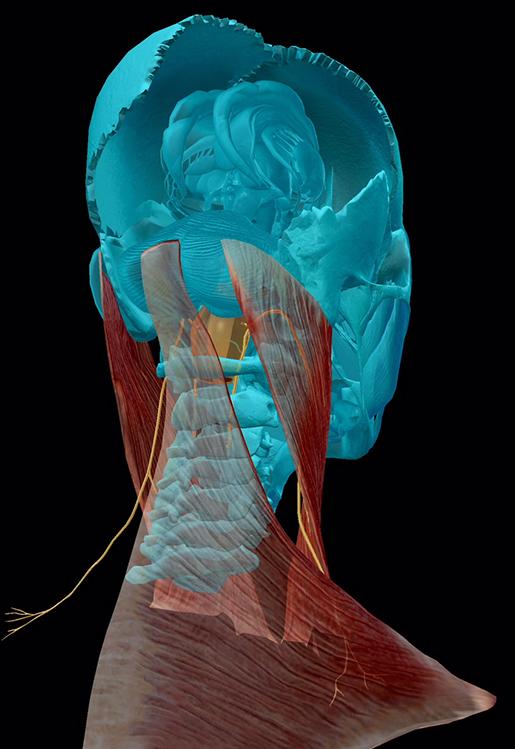 cranial-nerves-11-accessory