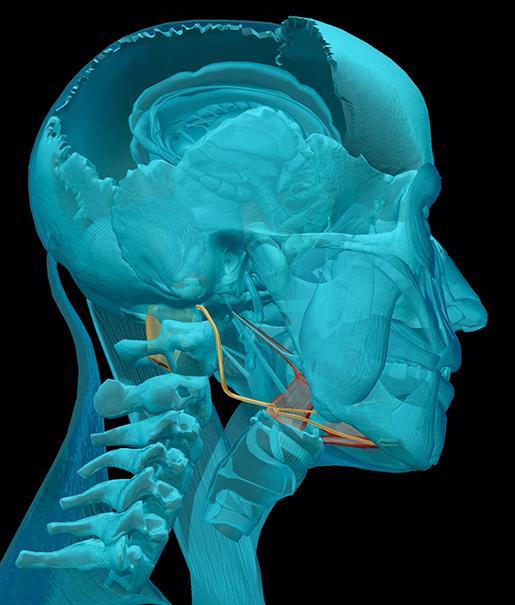 cranial-nerves-12-hypoglossal