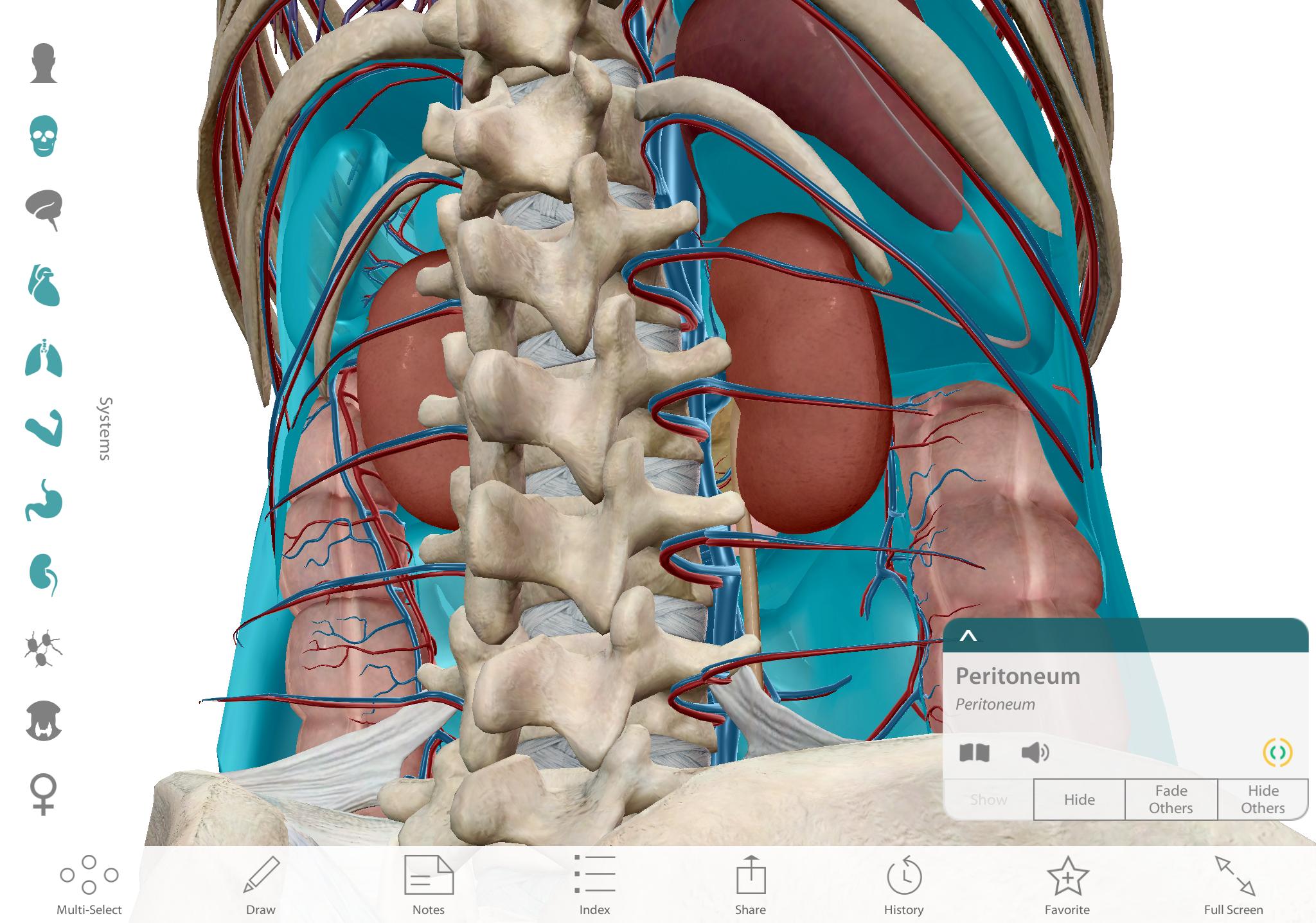 The Peritoneum in context, posteroinferior view