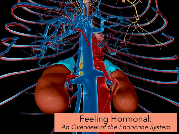 Endocrine-System-Hormones-Blog.jpg