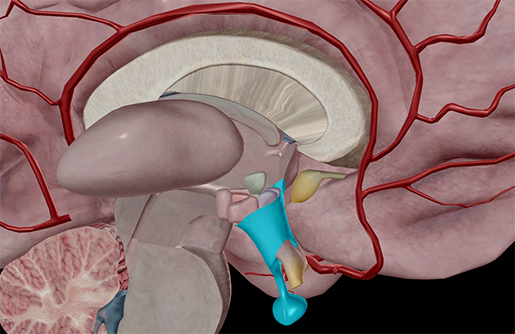 The Endocrine System: Hypothalamus and Pituitary