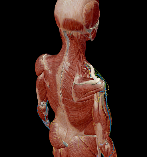 anatomical-position-direction-posterosuperior-anatomy-physiology