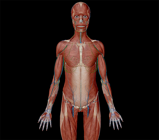 anatomical-position