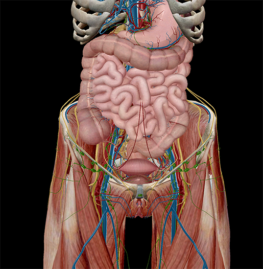 5 Facts About The Anatomy Of The Pelvic Cavity