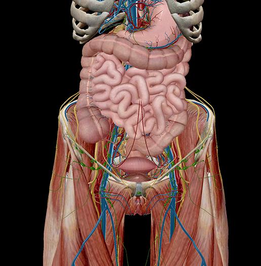 pelvic-cavity-organs-functions