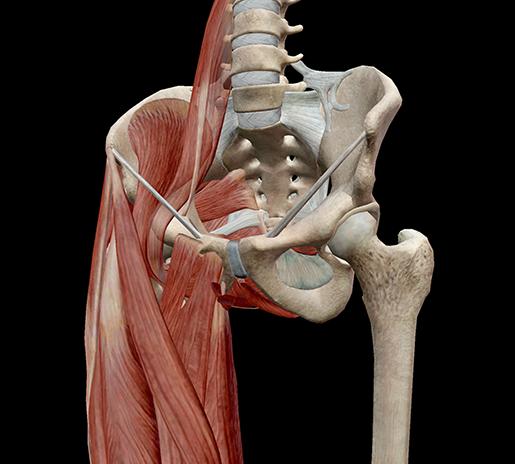 pelvic-cavity-walls-muscle-leg