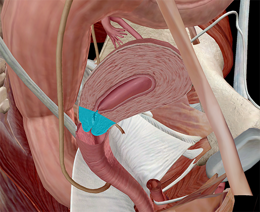 cervix-uterine-internal-vagina