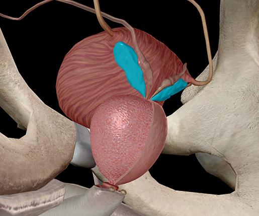 seminal-vesicle-spermatic-prostate-vas-deferens