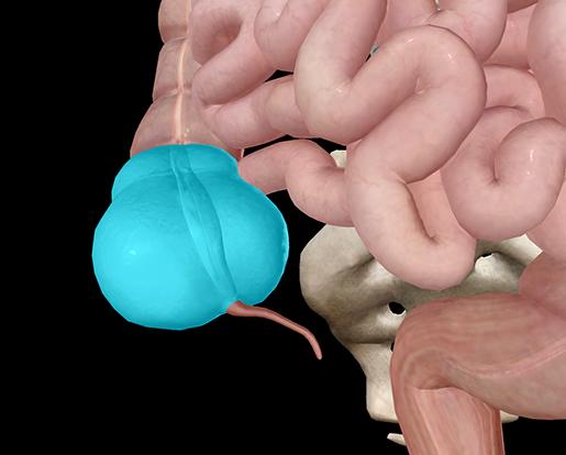 ap-anatomy-physiology-cecum-intestine-colon-digestive-system
