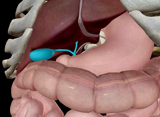 ap-anatomy-physiology-gallbladder-digestive