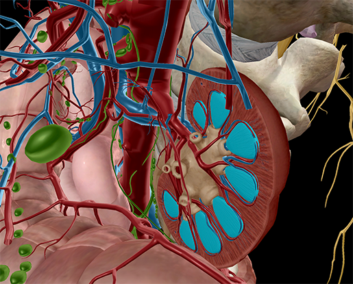 Anatomy and Physiology: The 5 Unsung Heroes of the Abdominal Cavity