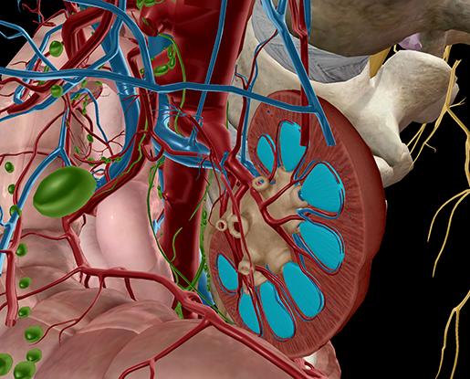 ap-anatomy-physiology-kidneys-renal-pyramids-urinary-system