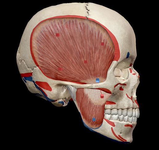 deep-masseter-temporalis-mastication-muscles