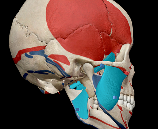 superficial-mastication-muscles-lateral-pterygoid-head