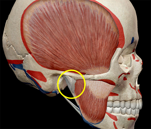 temporomandibular-joint-pain-tmj-tmd-mastication-muscles-articular-disc