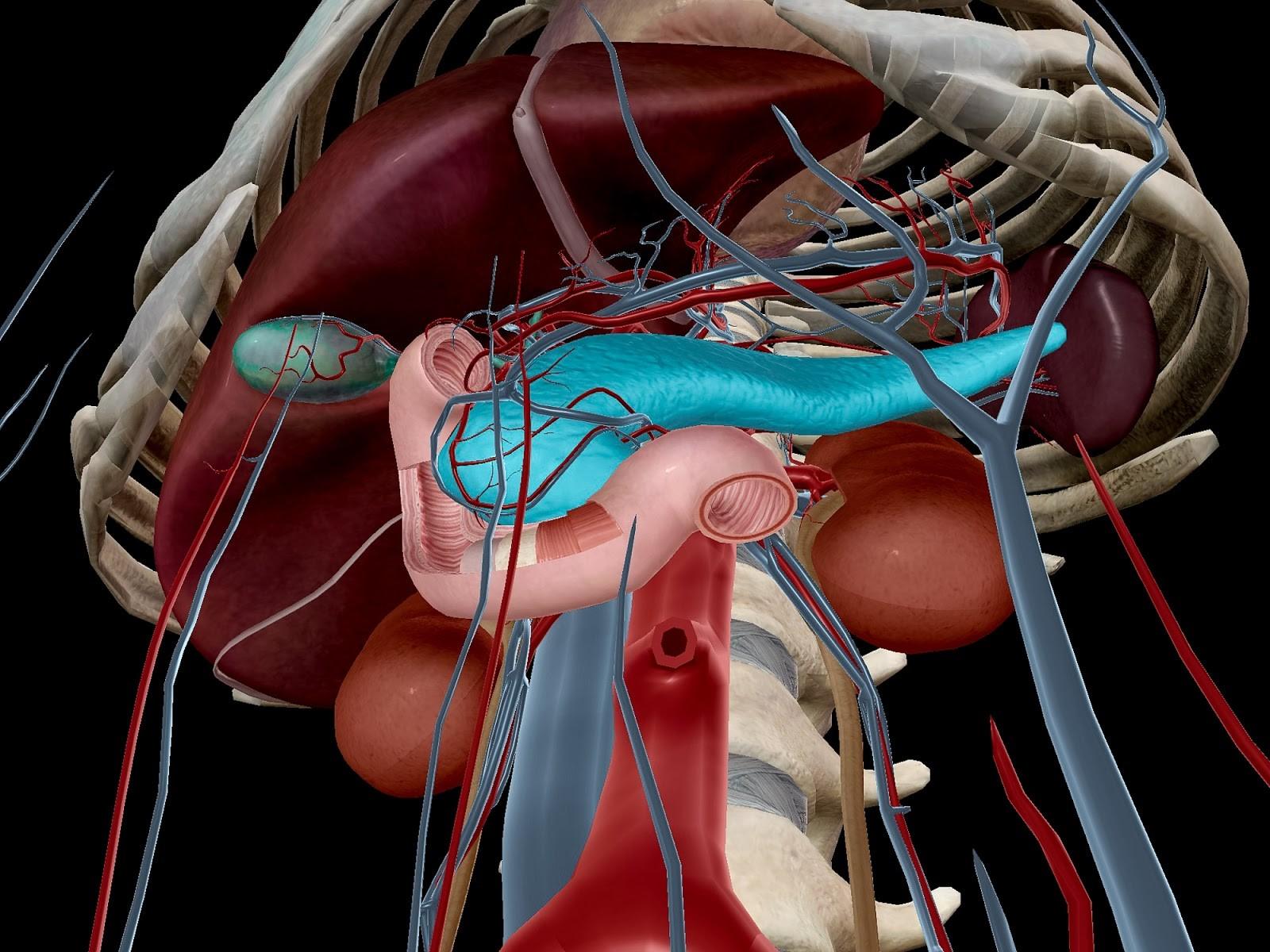 Pancreas, in context.