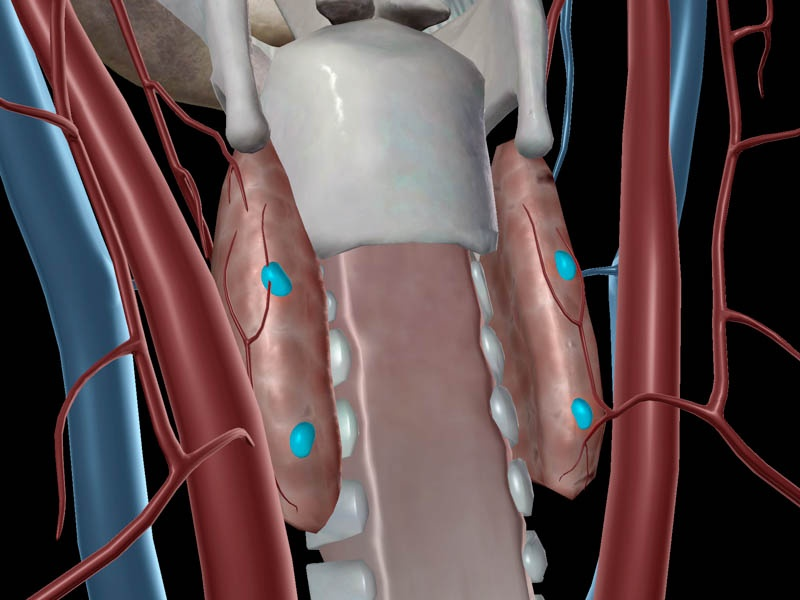 Parathyroid glands, in context.