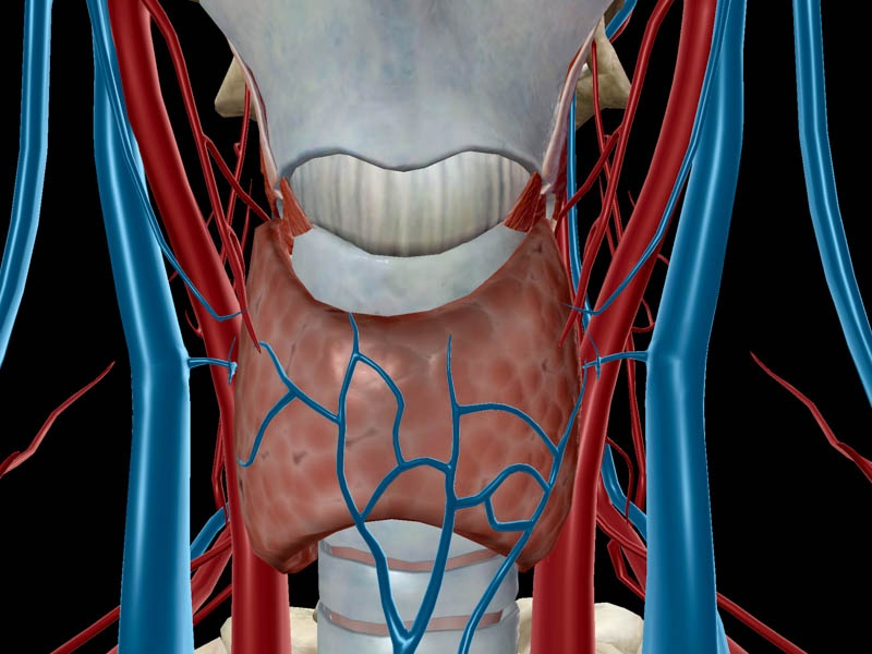 Thyroid Gland, in context.