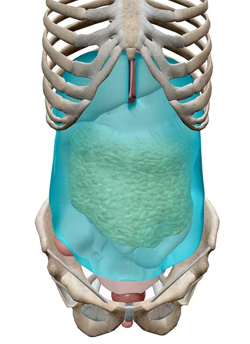peritoneum-highlighted-m