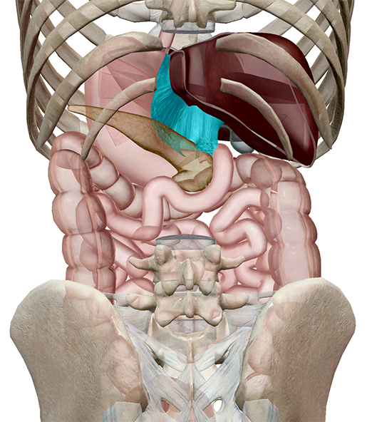 peritoneum-lesser-omentum