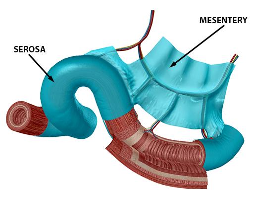 peritoneum-mesentery-and-serosa