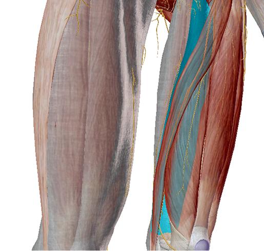 fascia-medial-intermuscular-septum