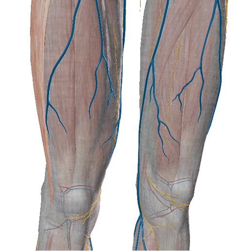 fascia-thighs-nerves-veins