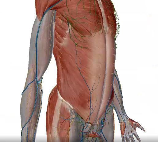 fascia-upper-limb-r
