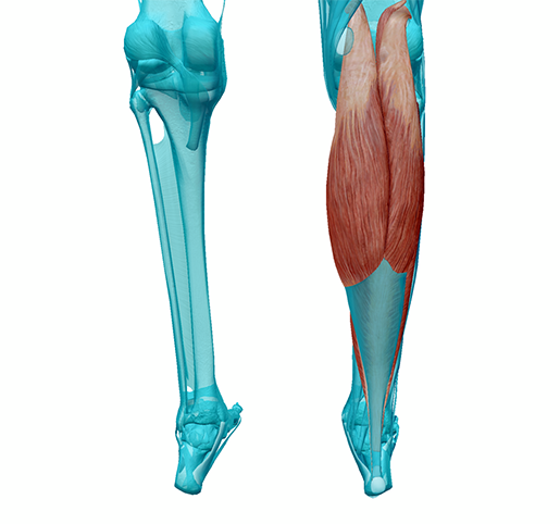 lower-leg-superficial-posterior