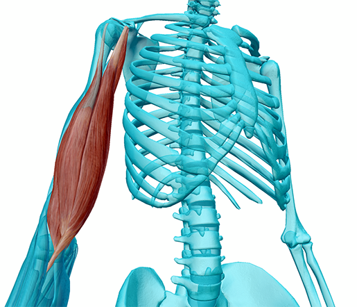 muscles-of-anterior-arm-compartment