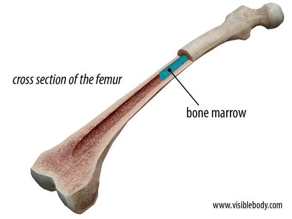 femur bone marrow.png