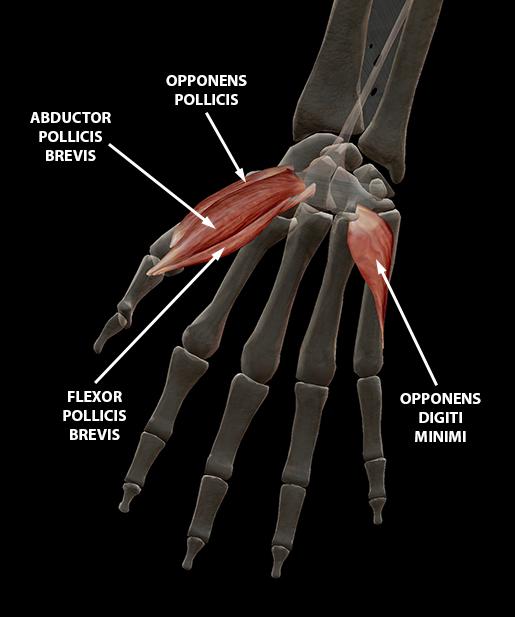 hand-finger-thumb-digit-opposition-2