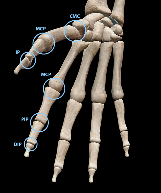 hand-finger-thumb-joints