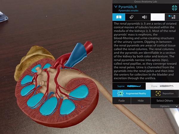 Urinary-System-Kidneys-Pyramids.jpg