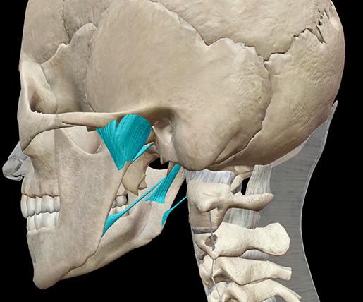 Skeleton-Anatomy-axial-ligaments-temporomandibular-joint-skull
