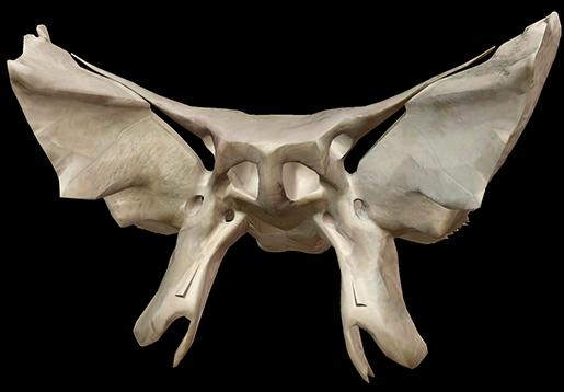 sphenoid-skull-bone