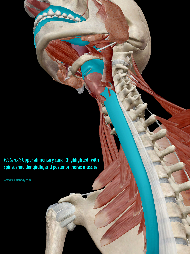 Upper digestive tract (highlighted)