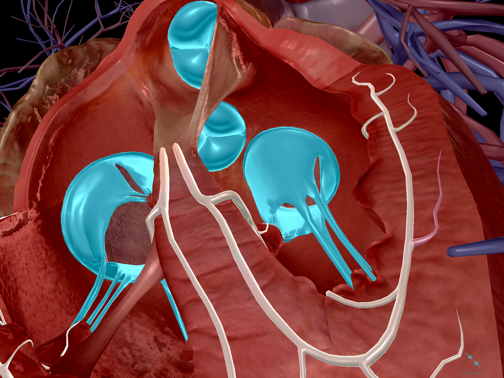 Heart-Valves-Chambers-Ventricles.png